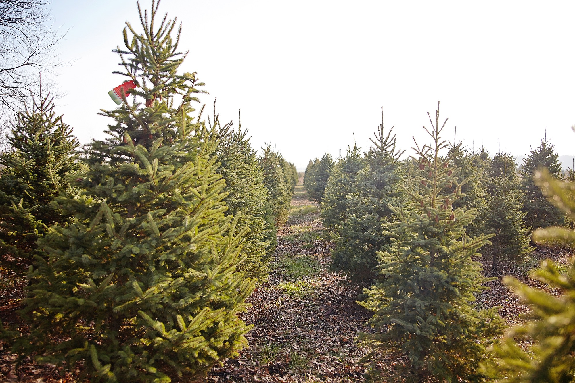 Mequon Christmas Tree Farm